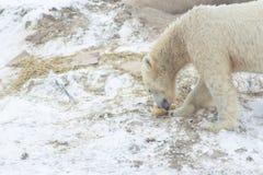 Ours blanc dans la neige images stock