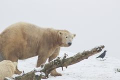 Ours blanc dans la neige photo stock