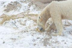 Ours blanc dans la neige images libres de droits