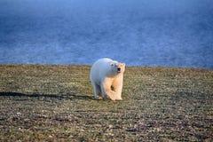 Ours blanc dans le désert arctique foncé et sans vie Photo stock