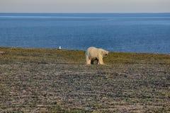 Ours blanc dans le désert arctique foncé et sans vie Images libres de droits