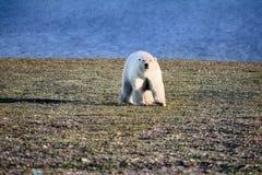 Ours blanc dans le désert arctique foncé et sans vie Photos stock