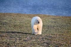 Ours blanc dans le désert arctique foncé et sans vie Photo libre de droits