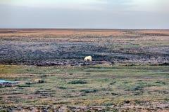 Ours blanc dans le désert arctique foncé et sans vie Photographie stock libre de droits