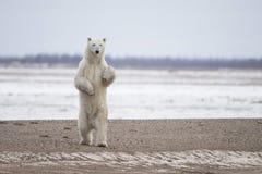Ours blanc dans le sous Arctique sur Hudson Bay Manitoba Photographie stock libre de droits