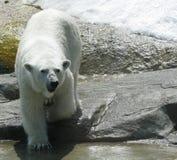 Ours blanc blanc dans le zoo images libres de droits