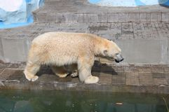 Ours blanc dans le zoo photo stock
