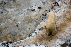 Ours blanc dans le ZOO modifié Photos libres de droits