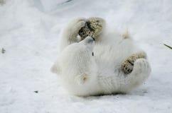 Ours blanc de bébé du zoo de Toronto Images stock