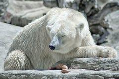 Ours blanc de crise de changement climatique de réchauffement global image stock