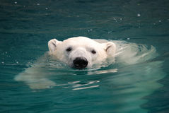 Ours blanc de natation 2 Photo libre de droits