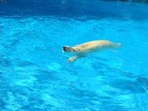 Ours blanc de natation Image libre de droits
