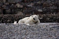 Ours blanc de repos Photos libres de droits