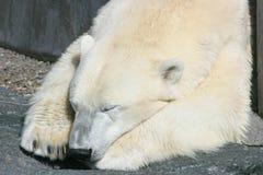 ours blanc de sommeil Images libres de droits