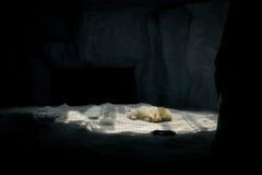 Ours blanc de sommeil Photo stock