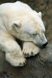 Ours blanc de sommeil Photos stock