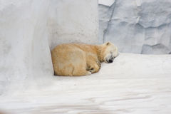 Ours blanc de sommeil image stock