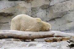 Ours blanc drôle Photos libres de droits