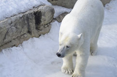 Ours blanc du zoo de Toronto Photos stock