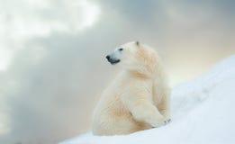 Ours blanc en hiver Photo libre de droits