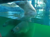 Ours blanc en parc de safari photographie stock libre de droits
