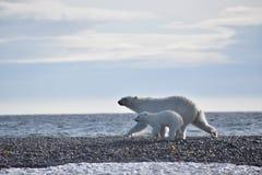 Ours blanc et petit animal fonctionnant le long de l'eau dans le Svalbard photo stock