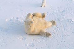 Ours blanc et renard arctique Images stock