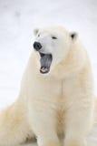 Ours blanc fatigué mignon Photo libre de droits