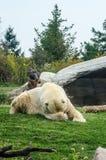 Ours blanc gêné photo libre de droits
