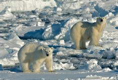 Ours blanc, IJsbeer, maritimus d'Ursus photos libres de droits