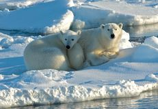 Ours blanc, IJsbeer, maritimus d'Ursus image libre de droits