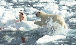 Ours blanc, IJsbeer, maritimus d'Ursus photo stock