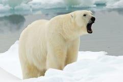 Ours blanc, IJsbeer, maritimus d'Ursus image stock