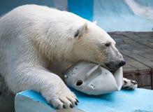 Ours blanc jouant avec la boîte métallique en plastique Photo libre de droits