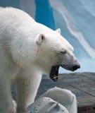 Ours blanc jouant avec la boîte métallique en plastique Photographie stock