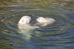 Ours blanc jouant avec son petit animal sur l'eau climate photographie stock