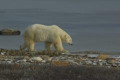 Ours blanc marchant au bord de l'eau images libres de droits