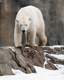 Ours blanc marchant sur des roches Photo stock