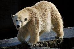 Ours blanc (maritimus d'Ursus) photographie stock