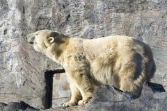 Ours blanc - maritimus d'Ursus Photos libres de droits