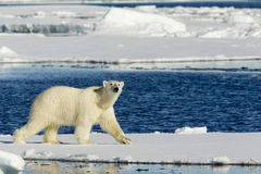 Ours blanc observant Photo stock