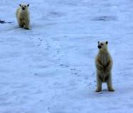 Ours blanc près de latitude de nord de degrés du Pôle Nord 86-87 Photo stock