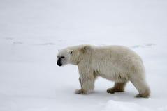 Ours blanc près de latitude de nord de degrés du Pôle Nord 86-87 Photos libres de droits