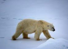 Ours blanc près de latitude de nord de degrés du Pôle Nord 86-87 Photographie stock