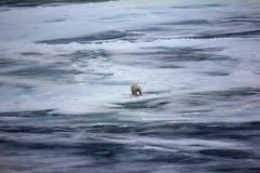 Ours blanc près de latitude de nord de degrés du Pôle Nord 86-87 Image libre de droits