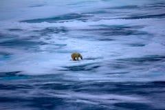 Ours blanc près de latitude de nord de degrés du Pôle Nord 86-87 Images stock