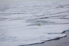 Ours blanc près de latitude de nord de degrés du Pôle Nord 86-87 Image stock