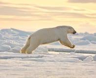 Ours blanc sautant dans la neige Photographie stock