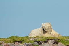 Ours blanc se réveillant sur une correction d'herbe Image stock