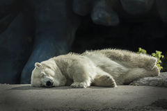 Ours blanc somnolent Photo libre de droits
